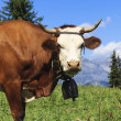 Beautiful cow in french alps — Stock Photo