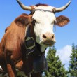 Cow in french alps — Stock Photo