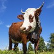 Portrait of cow in french alps — Stock Photo