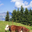 Lying cow in french alps — Foto Stock