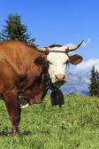Güzel inek fransız alps — Stok fotoğraf