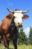 Kráva v francouzské Alpy — Stock fotografie