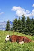 躺在法国阿尔卑斯山牛 — 图库照片