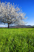 Big white blossoming tree — Stock Photo