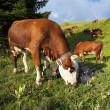 Cow in french alps landscape — Stock Photo #33511529