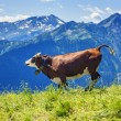 Cow running in french alps — Stock Photo