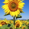 Sunflower and blue sky — Stock Photo