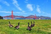 Golden Gate Bridge with gooses — Stockfoto