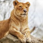 Lioness — Stock Photo #34598669