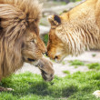 Lion and Lioness — Stock Photo #34598689