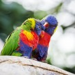 Lori Lorikeet — Stock Photo