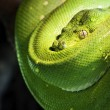 Green tree python  — Stock Photo