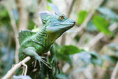 Green Basilisk Lizard — Stock Photo