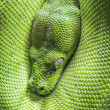 Green tree python eye — Stock Photo