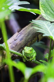 Green monkey tree frog — Stock Photo
