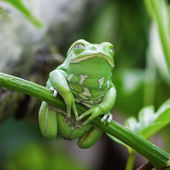 Green monkey frog — Stock Photo