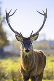 Majestic powerful adult red deer — Stock Photo