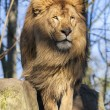 Stock Photo: Beautiful lion