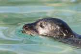 Swimming seal — Stock Photo