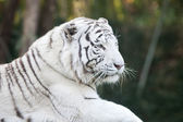 White tiger head — Stock Photo