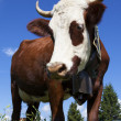 Brown cow in a meadow — Stock Photo #37193209