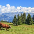 Panoramic view of brown cows — Stock Photo #37238495