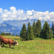 Stock Photo: Panoramic view of brown cows