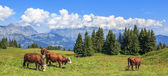 Panoramic view of brown cows — Stock Photo