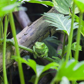 View of Green monkey frog — Stock Photo