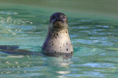 Cute seal — Stock Photo