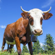 Stock Photo: Cow in french alps with blue sky