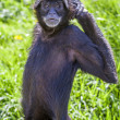 Ateles geoffroyi vellerosus spider monkey — Stock Photo