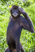 Ateles geoffroyi vellerosus spider monkey — Photo