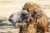 Head of a camel — Stock Photo