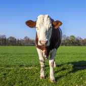 White and brown cow on green grass — Stock Photo