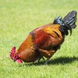 Brown cock on green grass — Stock Photo #45920991