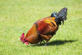 Brown cock on green grass — Stock Photo