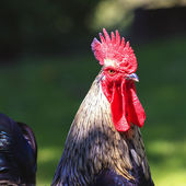 Cock in the sunlight — Stock Photo