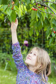 Little girl picking a cherry — Stock Photo