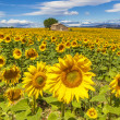 Beautiful landscape with sunflower field — Stock Photo #49594877