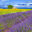 Lavender and sunflower field — Stock Photo #49678277
