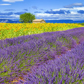 Lavender and sunflower field — Stock Photo