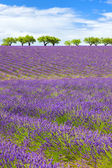 Lavender field with cloudy sky — Stock Photo