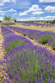 Lavender country — Stock Photo