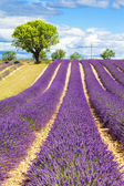 Lavender field with tree — Stock Photo