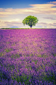 Lavender at sunset — Stock Photo