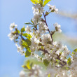 Photo of blossoming tree brunch with white flowers — Stock Photo #25350301