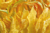 Courgette flowers — Stock Photo