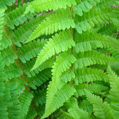Fern picture — Stock Photo