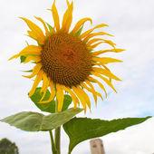 Sunflower flower — Stockfoto